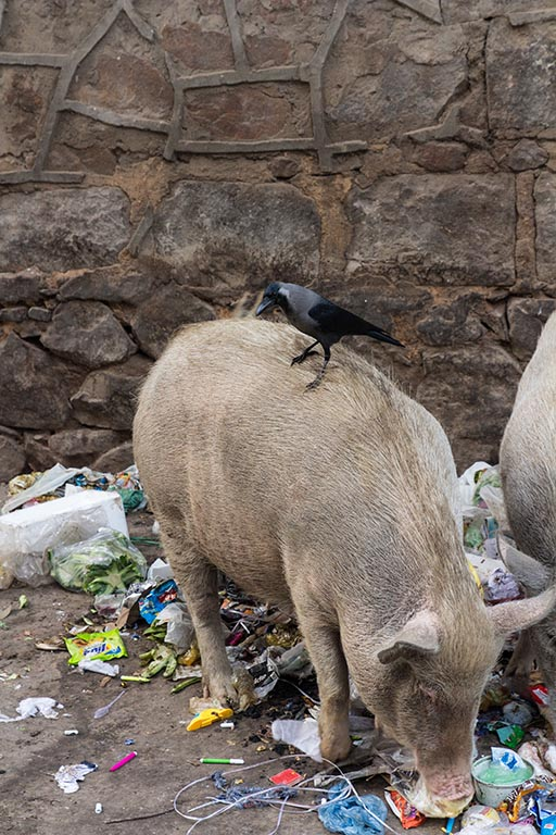Schweine im Müll