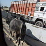 Kuh auf dem Highway